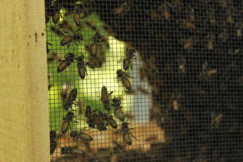 Bees from Divinum Auxilium Academy Garden